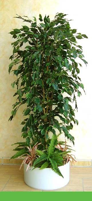 Ficus Arrangement