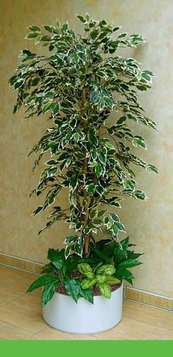 Ficus Arrangement grün-weiß