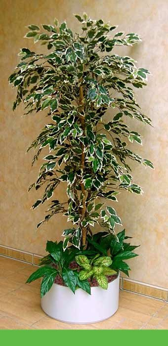 Büsche Beispiel 1 (Ficus, Hawaii)