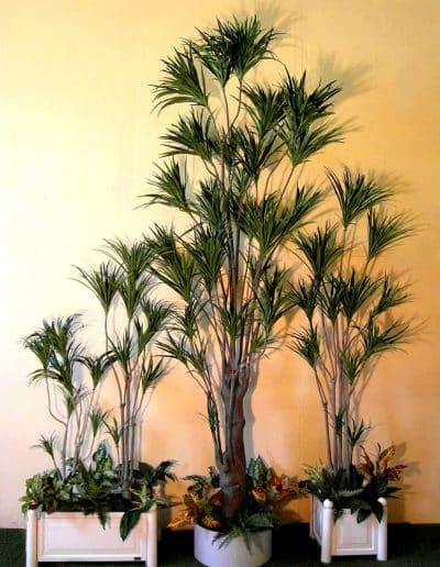 Dracena Pflanzen mit biegsamen Stämmen.