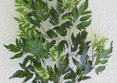 Zweig Beispiel 5 (Aralia)