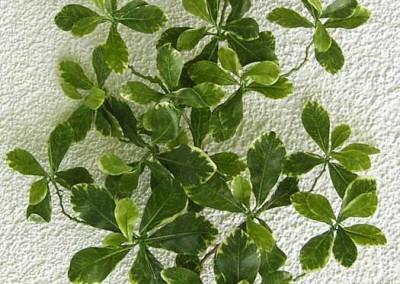 Zweig Beispiel 4 (Black Olive)