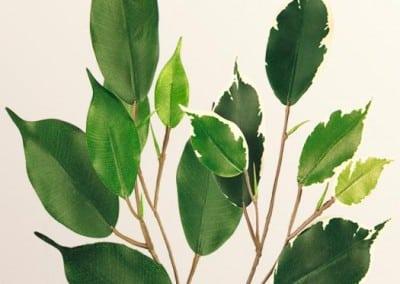 Zweig Beispiel 3 (Ficus)